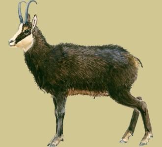 Acoger a un animal de la montaña de especie rupicapra