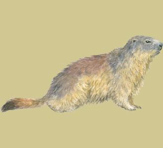 Acoger a un animal de la montaña de especie marmota