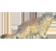 Marmota - pelaje 69