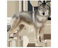 Lobo - pelaje 52