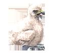 Halcón peregrino  - pelaje 29